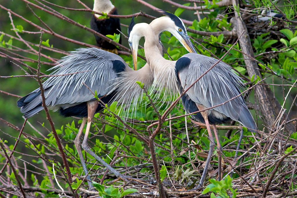 Two Great Blue Herons