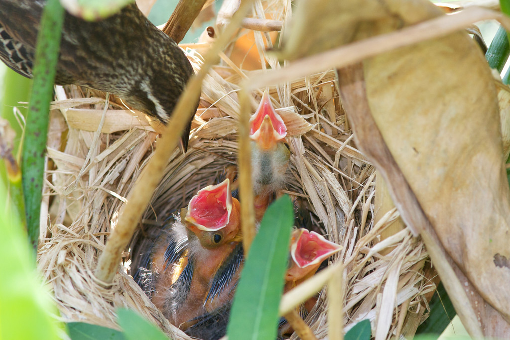 Female Blackbird feeding chicks