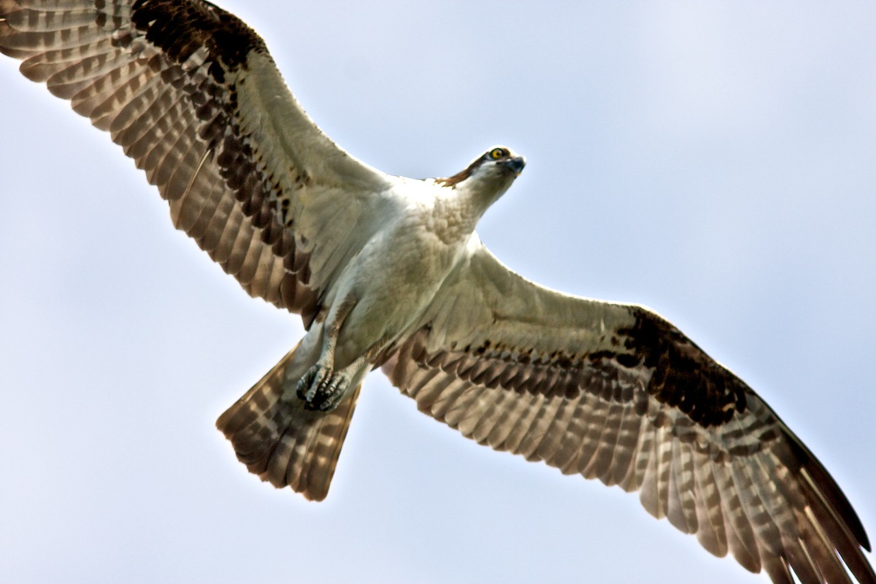 Mature adult in flight.