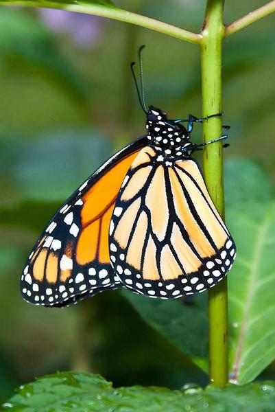 Male Monarch
