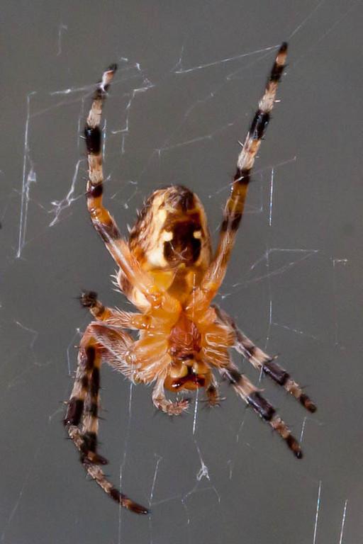 Spider-8682