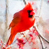 The Male cardinal and maple buds