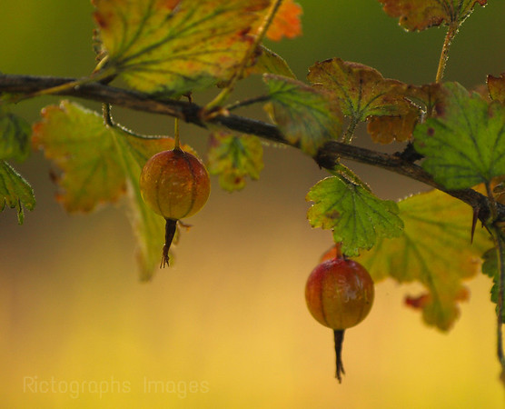 Autumn Gooseberries