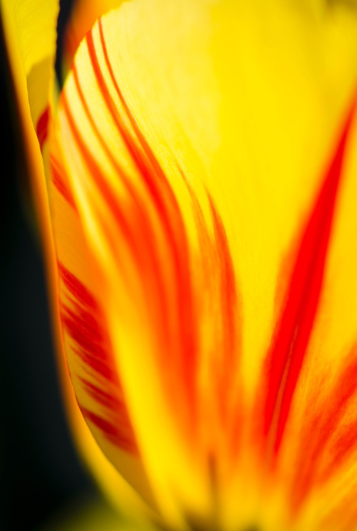 Tulip Red Yellow 2