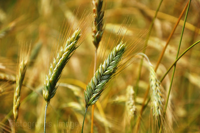 Growing Grain; Rictographs Images; Ric Evoy