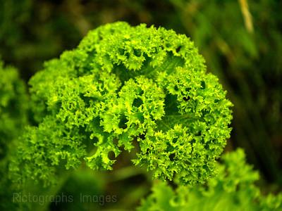 Green Organic Kale