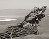 Northern California. Manchester Beach driftwood.