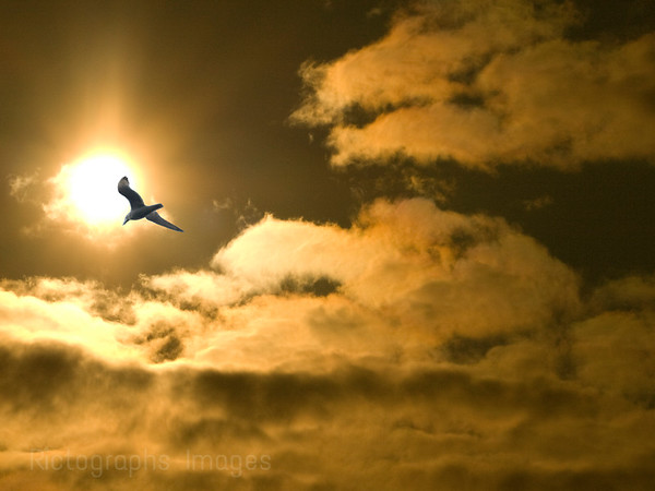 Sea gull flying in the face of the sun