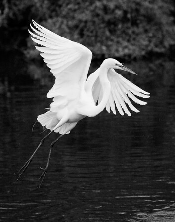 Great white egret in Orlando's GatorLand.