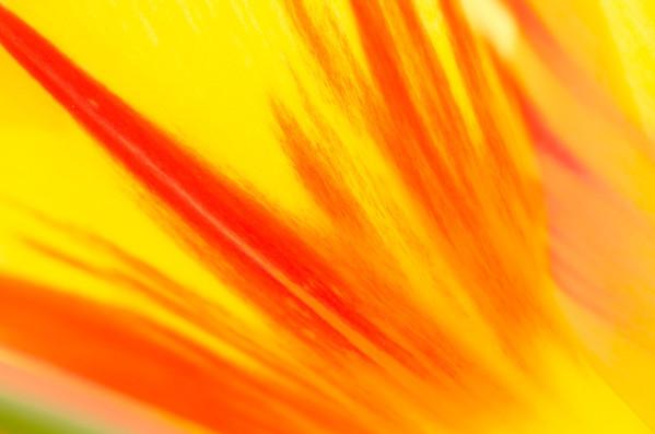 Tulip Red Yellow 1
