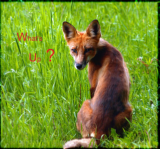 Red Fox; Looking