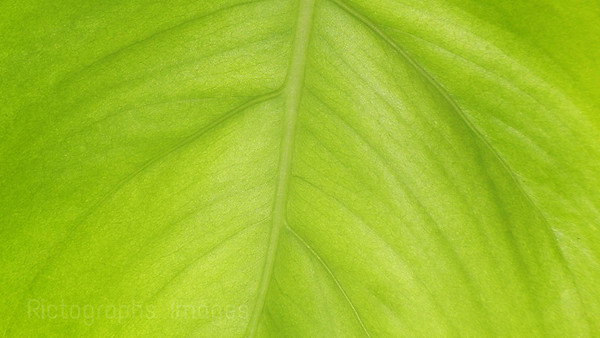 Green Leaf; Photosynthesis