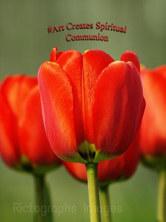 Garden Flowers, Red Tulips