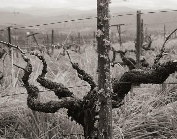 Northern California. Esterlina vineyards in the Anderson Valley.