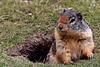 Marmot near Manning Park