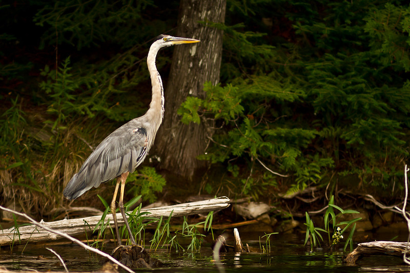 Fred the Heron at Ompah Ontario