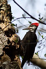 Pileated Woodpecker parksville BC