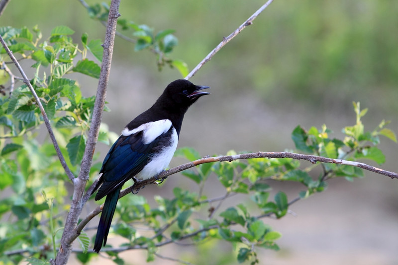 Magpie in Princeton