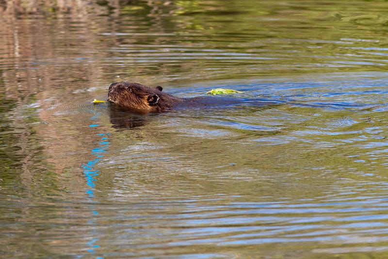 Beaver in Princeton BC