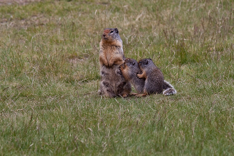 Marmots in Maning Park