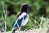 Magpie in Maning Park
