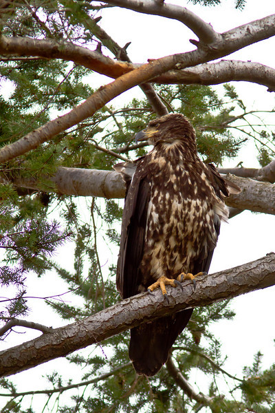 Young eagle Parksville BC. April 2911.