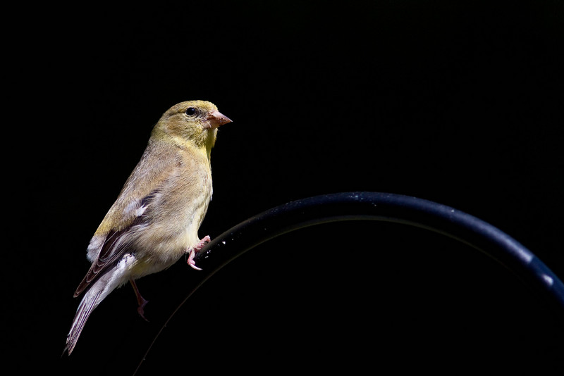 Gold Finch (female) Cobblehill BC