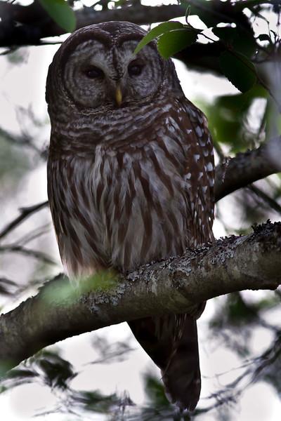 Barred Owl in Buttertubs Marsh