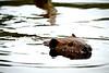 Beaver at Ompah