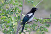 Magpie in Princeton BC