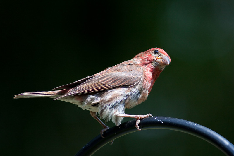 House Finch Cobblehill BC