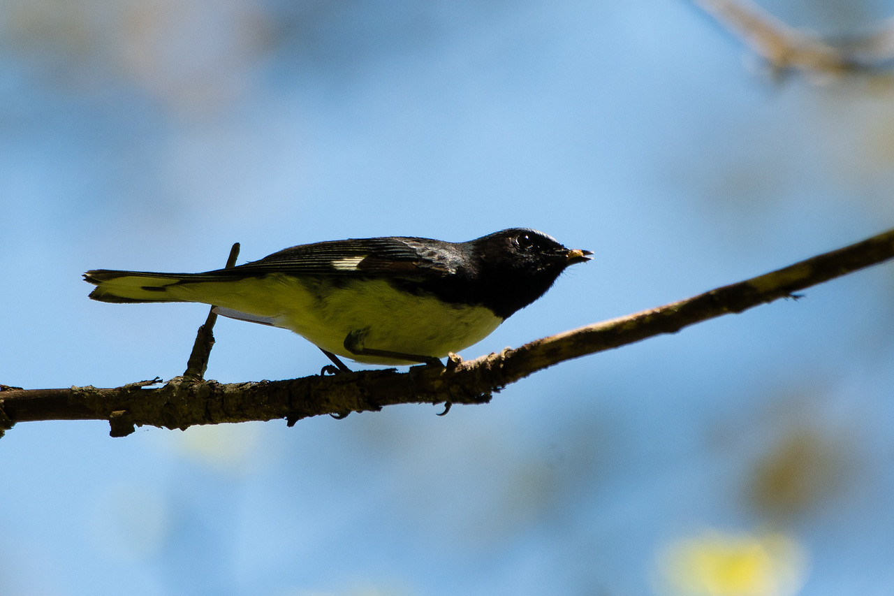 Black Throated Blue Warbler, Blue Ridge Parkway