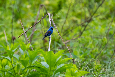 Blue Grosbeak, Seven Islands