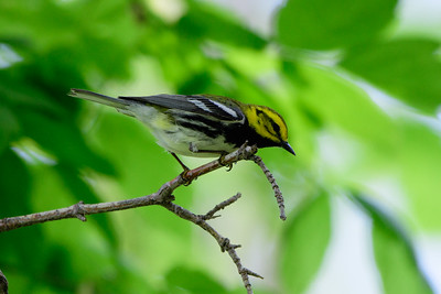 Black Throated Green Warbler, Magee Marsh