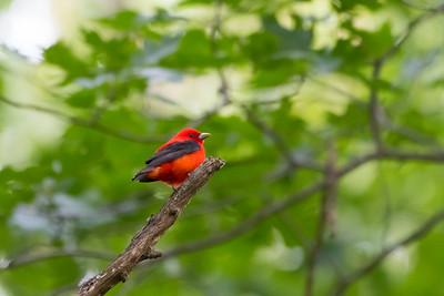 Scarlet Tanager, Radnor Lake, TN
