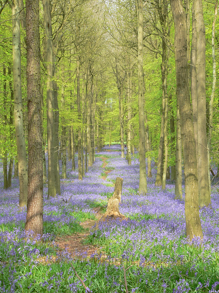 A walk in the bluebells
