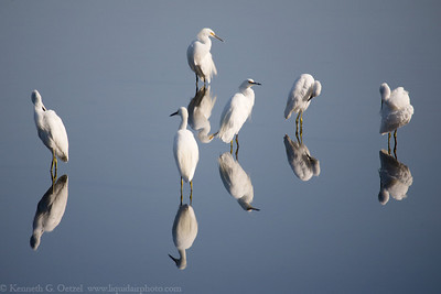 Snowy Egrets.  Taken at Rush Creek in Novato, CA. For Digital Grin Challenge Stillness