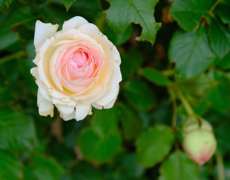 Rose, Le Mandrie di San Paolo