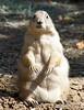 St Looey Zoo critter.  Prairie Dog