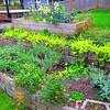 """Riotous garden, Spring 2012.  DRB home, Kirkland WA.  """"Vivid!"""""""