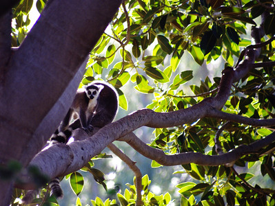 Ringtail Lemurs, Wild Animal Park, Escondido, California.