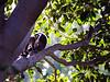 Ringtail Lemurs, Wild Animal Park, Escondido, California.