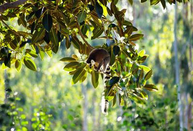 Ringtail Lemur, Wild Animal Park, Escondido, California.