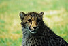 Cheetah cub, Wild Animal Park, Escondido, California.