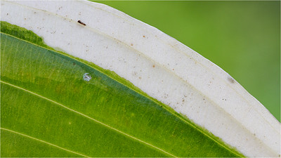 Variegated hosta leaf