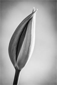 Closed tulip