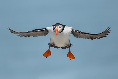 #762 Atlantic Puffin