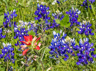 Bluebonnets by Aub, Independence on 032815