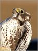 Perigrine Hawk