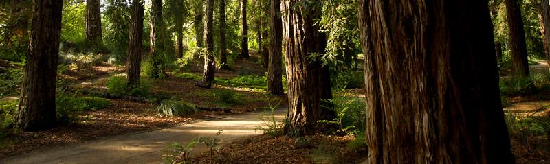 Sunlight breaks through the branches at the T. Elliot Weier Redwood Grove in the UC Davis Arboretum on Thursday, September 15, 2011.